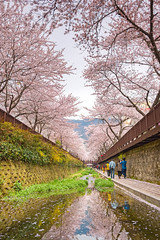 Cherry Blossom over the Water Way (johnlsl) Tags: cherryblossom southkorea waterway