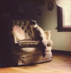 Princess Miko (Kim Smith-Miller) Tags: cats polaroid pdx portlandor slr680 instantfilm polaroidweek impossibleproject catsonfilm littledoglaughednoiret roidweek2016 princessmikokitty