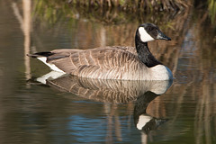 Father Goose (NicoleW0000) Tags: canada bird water reflections watching goose waterfowl canadagoose nestingtime