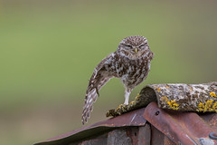 streching little owl (dale 1) Tags: wild bird little small pray leg wing owl wise hunter streching