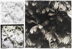Foglie (Giorgio Bordin) Tags: print development platinum palladium reversal altprocesses platinotype