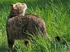 european wild cat Anholt JN6A8703 (j.a.kok) Tags: cat kat wildcat anholt wildekat europeanwildcat europesewoldekat