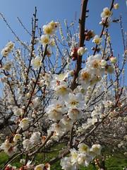16i5452 (kimagurenote) Tags: apricot ume 梅 japaneseapricot ウメ prunusmume sogabairin 曽我梅林 神奈川県小田原市 odawarakanagawa