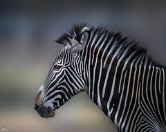 African wild horse (roland_lehnhardt) Tags: africa horse animals zoo dof bokeh wildlife zebra tierpark pferde striped augsburg equus schrfentiefe quagga equidae unschrfe wildtiere naturemasterclass eos60d bokehandbeyond