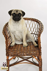 luna3ml (fifa foto) Tags: dog pet cute chair funny sitting sweet pug