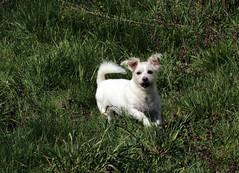 Mon toutou (eminorah) Tags: dog chien silly play fou regard joueur oreilles courir foufou oreillesdresses oreillesfolles