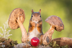 standing middle (Geert Weggen) Tags: autumn light red summer  plant cute fall apple nature mushroom animal closeup fruit mammal happy rodent moss spring squirrel funny bright ground toadstool geert perennial weggen ilobsterit hardeko