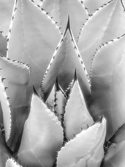 Beauty in nature..... (tomk630) Tags: travel arizona bw usa plant nature beauty thorns