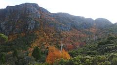 Deciduous Beech (Rotuli) Tags: australia tasmania dovelake fagus nothofagaceae cradlemountainlakestclairnationalpark deciduousbeech nothofagusgunnii