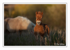 20160428_2861 (P.Gibney) Tags: ireland cute nature foal