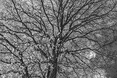 Mono Branches - April 2016 (GOR44Photographic@Gmail.com) Tags: wood bw ir mono woods branch fujifilm wgc 35mmf14 xpro1 sherrards gor44