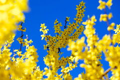 Blooming Forsythia (elzauer) Tags: blue sky flower tree nature yellow germany outdoors bayern bavaria photography day blossom tranquility sunny growth forsythia clearsky freshness springtime fragility beautyinnature