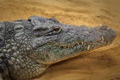 fauces (antoniofmg) Tags: madrid espaa color animal fauna mouth spain crocodrile cocodrilo jaws boca faunia fauces