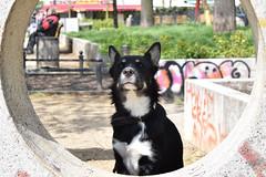 Street-smart Fili (mikros.anthropos) Tags: urban dog berlin animal mutt mix husky outdoor hund bordercollie australianshepherd tier fili mischling crossbreed urbandog nikond3300