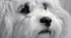 "Mono Monday - ""Paws"" for thought (gazzas_pics) Tags: portrait dog white black canon fur nose mono eyes availablelight p hmm 500d cavachon gabphotography macromondays 18to55mmlens beginswiththeletterp"