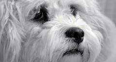 "Mono Monday - ""Paws"" for thought (gazzas_pics) Tags: portrait blackandwhite dog pet white black monochrome field animal canon fur nose mono eyes availablelight p hmm depth 500d cavachon gabphotography macromondays 18to55mmlens beginswiththeletterp"