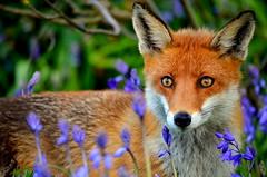 woodland fox (mulligan.janice) Tags: bluebells forest woodland wildlife fox