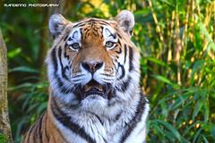 Siberian Tiger ( Rasputin ) - Allwetterzoo Munster (Mandenno photography) Tags: animal animals tiger tigers rasputin siberian tijger dieren munster dierentuin allwetterzoo dierenpark allwetterzoomunster