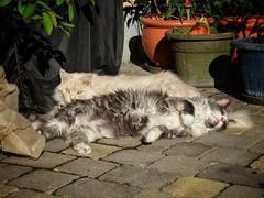 The Spring Is Back Again (Alex M. Wolf) Tags: sun cat relax spring feline fuji sid relaxing gato katze sonne gatto enjoying sidney sheila frhling felin geniessen felidae alexmwolf xe2s