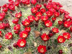 My neighborhood in Albuquerque with iPhone: Claretcup or hedgehog cactus (Echinocereus sp.) (cbrozek21) Tags: cactus flower redflower echinocereus claretcupcactus hedgehogcactus floweringcactus redflowercactus