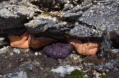 042616_ObPass_208 (Orcas Art) Tags: starfish anemone orcasisland tidepool obstructionpass rockpool ochrestar elegantanemone