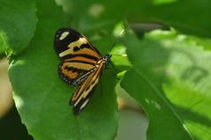(beazambuja) Tags: brazil brasil butterfly borboleta passiflora passionfruit maracuja