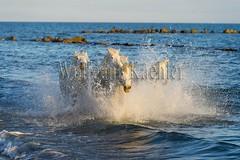 40081109 (wolfgangkaehler) Tags: horse white france beach water french europe mediterranean european running splash herd mediterraneansea eveninglight camargue southernfrance splashing galloping 2016 whitehorses camarguehorses