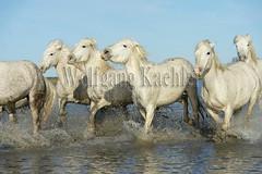 40081001 (wolfgangkaehler) Tags: horse white france water french europe european running wetlands marsh splash herd marshland wetland camargue southernfrance splashing marshlands galloping 2016 whitehorses camarguehorses