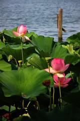 Lotus I (Marta Montresoro) Tags: pink summer lake flower home nature canon photography lotus mantova lungolago