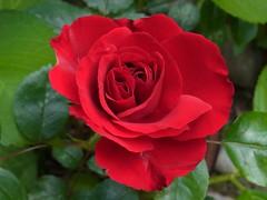 Rose (Twin core) (April, 2016) (firebird39) Tags: red macro rose ricoh    cx5