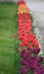 IMG_7931 (Five eyes) Tags: flowers flower holland color nature beauty garden spring dof tulips beds michigan fresh neighborhood beginning tuliptime promise lanes 2016