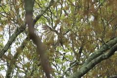 Barred Owl - Higbee Beach WMA (mpasquarello) Tags: owl barred higbee