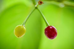 Cherries (Pai Shih) Tags: trees macro nature cherry taiwan
