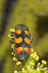 Mangrove orange black and red  jewel beetle Buprestidae Airlie Beach P1290988 (Steve & Alison1) Tags: red orange black beach beetle mangrove jewel airlie buprestidae excoecaria agallocha
