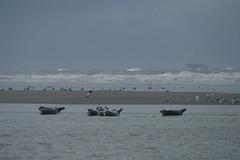 Seals, Schiermonnikoog (polletjes) Tags: blue sea seascape beach nature water netherlands birds strand blauw ship nederland vogels natuur seals ee branding schiermonnikoog landschap schip zeehonden