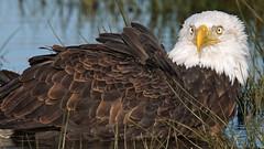Bathing Bald Eagle... (photosauraus rex) Tags: wild canada bird vancouver bc eagle outdoor baldeagle bald raptor haliaeetusleucocephalus haliaeetus leucocephalus nonzoo bathingeagle nonraptorshow nonbaited