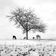 Cavalli di Hoppenhausen (zane) Tags: