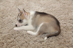IMG_2088 (Lee Collings Photography) Tags: dog pet pets puppy husky siberianhusky 0702 huskypuppy huskypup 07022016