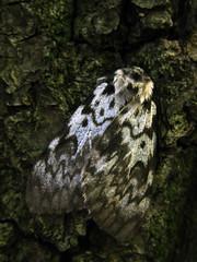 Lymantria monacha (Linnaeus, 1758) (sotnik_on) Tags: macro ecology forest moth ukraine naturalhistory fieldwork mimicry entomology poltava lymantria lymantriidae lymantriinae lepidoptra entomofauna rossoshentsy