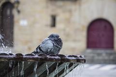 la ducha (fertraban) Tags: plaza agua gijn fuente asturias paloma gotas cimadevilla xixn pingeon marqus cimavilla plazadelmarqus