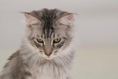 Maine Coon's - Los Angeles Du pays Angoumois (nadou6 (nadge gascon)) Tags: animal cat canon feline chat flin felin mainecoons