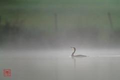 """cormorant-20110928_3756 (Eric Pl """"Photonum'Eric"""") Tags: cormorant oiseau brouillard mtorologie"""