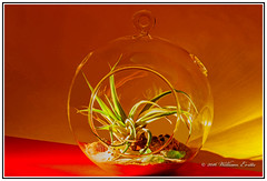 Small Tillandsia Growing Inside Six Inch Diameter Globe (Bill E2011) Tags: lighting light plants colour nature glass canon globe display artistic tillandsia effect