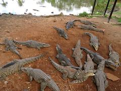 Cuban Crocodile Pile (Criadero de Cocodrilos) (stinkenroboter) Tags: cuba herp crocodilefarm cubancrocodile crocodylusrhombifer criaderodecocodrilos