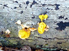 Witches' Butter (Mullica) Tags: park new wood nature mushroom yellow forest outdoors decay nj fungi butter fungus jersey witches parvin tremella mesenterica