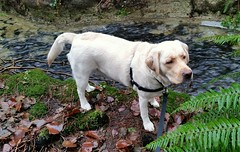 Gracie standing in front of the creek (walneylad) Tags: winter dog pet cute puppy gracie lab labrador january canine labradorretriever