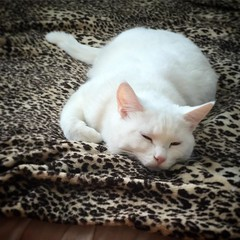 Louie Louie (e404smith) Tags: cats white animal animals cat