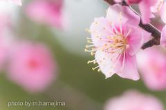 IMG15432_紅梅 (m.hamajima) Tags: flower macro spring pentax bokeh k3 梅 plumblossoms 春 fa100mm