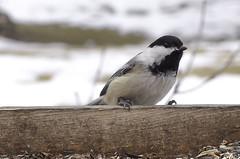 Feb Chickadee (RGNodak) Tags: winter snow black weather warm north gray chickadee melt capped mild odc