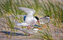It's All Coming Back to Me Now (kathybaca) Tags: ocean summer fish bird beach birds parents fly sand aves longisland explore shore eggs mating chicks migratory mate common behavior bays tern nesting colonies flocks shorebirds migrate